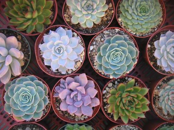 12 Large Succulent Cuttings, Rosette Shape, Great Size For Your Bouquet, Centerpieces, Wedding Decor, From 4 Inch Pots