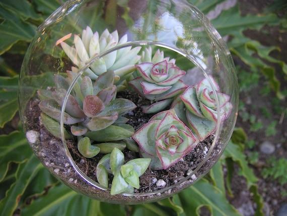 Beautiful Succulent Terrarium Globe, Hanging Garden, Wedding And Special Event Centerpiece