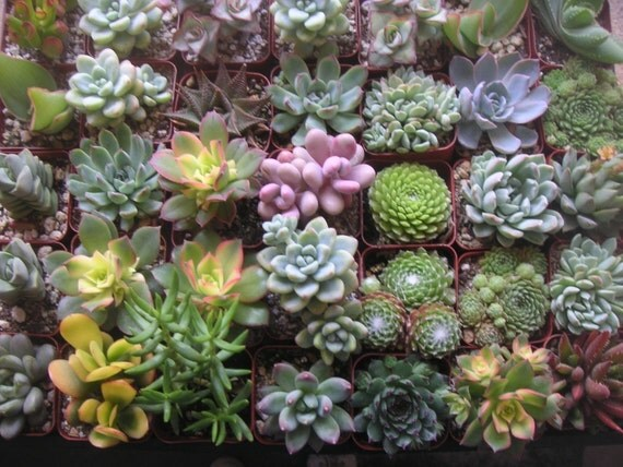 RESERVED For timetolookup, A Collection Of  Succulents, Great For Weddings,  Ship Date June 12, 2012