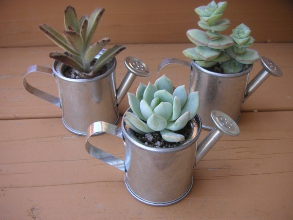 3 Zinc Watering Cans With Succulent Plants, Great Favors