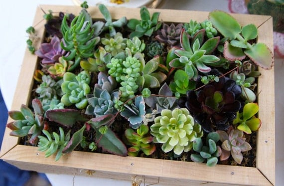 Complete Succulent Living Wall Art Kit Comes With 20 Cuttings Moss And Soil