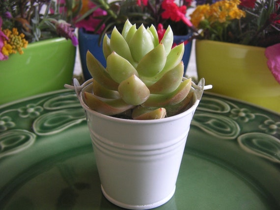 RESERVED For Kristie, A Collection Of 115 Succulents, White Pails, Wedding Favors, Ship Date August 20