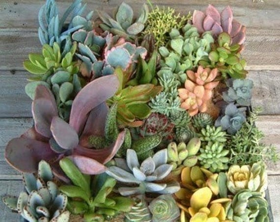 Succulents Galore, A Collection of 12 Succulent Cuttings W/ Rooting Powder, Great For Starting a Garden, Centerpieces and Living Walls