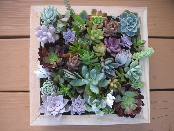 Complete Succulent Wall Art Kit, Comes Assembled With Soil And Moss, 25 Cuttings To Get Started
