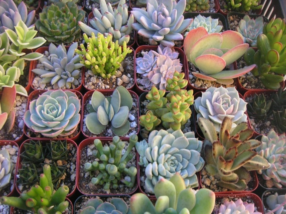 A Collection Of 6 Succulent Plants, Great For Terrarium Projects, Centerpieces, Favors, Container Gardens