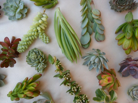 18 Succulents Cuttings, Great For Table Decor, Rustic Weddings, Living Wall