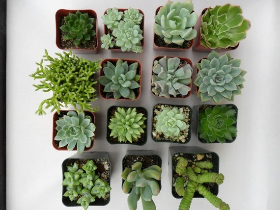 A Collection Of 6 Succulent Plants, Great For Terrarium Projects, Centerpieces, Container Gardens, Urban Chic