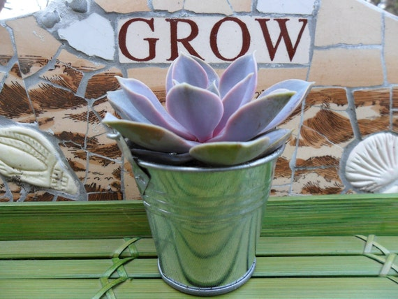 Succulent Favor And Silver Pail Sample, Rustic Wedding And Party Favors, Special Event