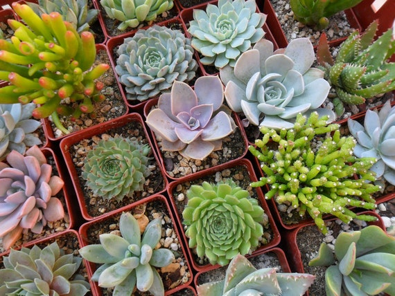 RESERVED For Stephanie Hopkins, A Collection Of 100 Beautiful Succulents Grown In Our Greenhouse, Perfect For Favors, Ship Date June 11th