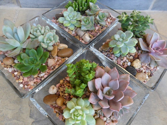 Succulent Terraium Centerpiece, Home Decor, Weddings, Get Well Gift, Square Glass Container, Urban Chic