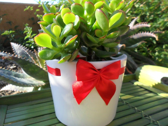 Jade Succulent Plant In A White Ceramic Pot Decorated With A Red Bow, Valentines Day, Home Decor, House Warming Gift
