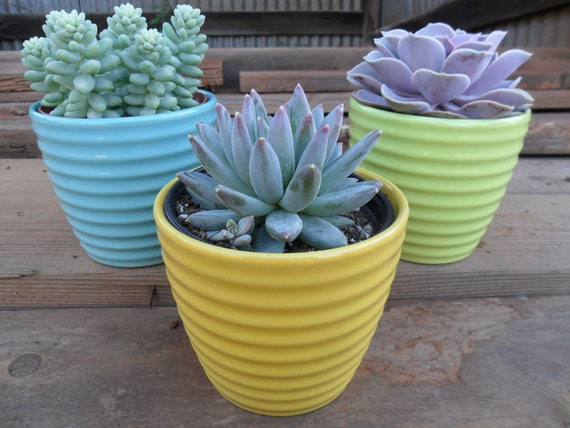 Housewarming Gift, Birthday, Get Well Succulent In 4 Inch Pastel Ceramic Pot, Large 4 Inch Plant