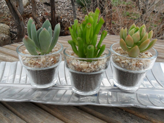 3 Succulents Planted In A Glass Garden Pot ,  Succulent Terrarium, Makes A Great Favor, Garden Wedding