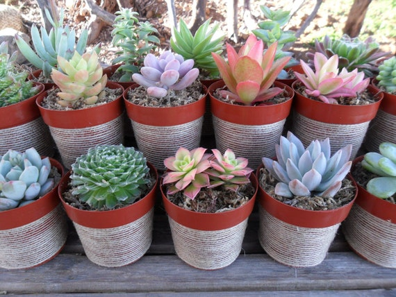 RESERVED For Angela, 110 Succulent Plants, Pots Wrapped In Natural Ribbon, Rustic Wedding, Ship Date July 28