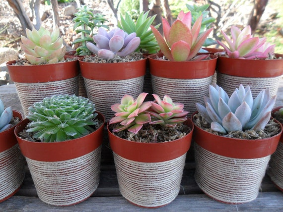 3 Succulent Plants, Pots Wrapped In Natural Ribbon, Rustic Wedding Favor, Great Gifts
