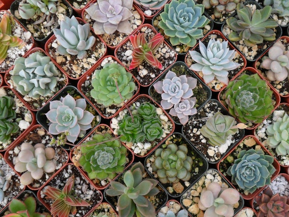 RESERVED For Mauriah, 120 Succulents For Favors, Ship Date August 24
