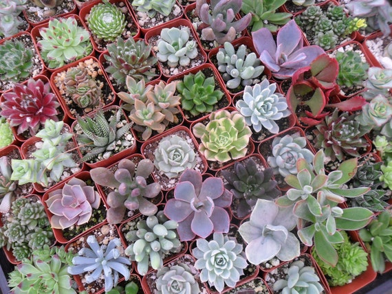RESERVED For Bridget, A Collection Of 120 Succulent Plants, Great Wedding Decor And Favors, Ship Date September 27