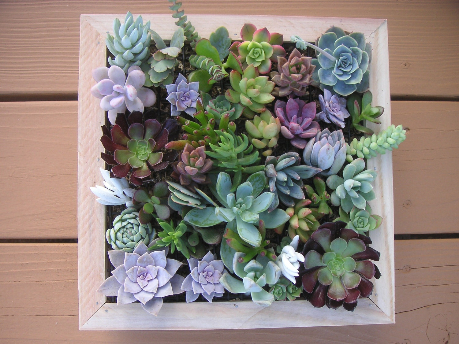 Complete Succulent Wall Art Kit Comes With 25 Cuttings Moss. Window Treatment For Living Room. Kitchen And Living Room Design. Rug Placement In Living Room. Free Live Webcam Chat Rooms. Quirky Living Room Furniture. White Living Room Set For Sale. Sofa Small Living Room. Living Room Ideas French Country