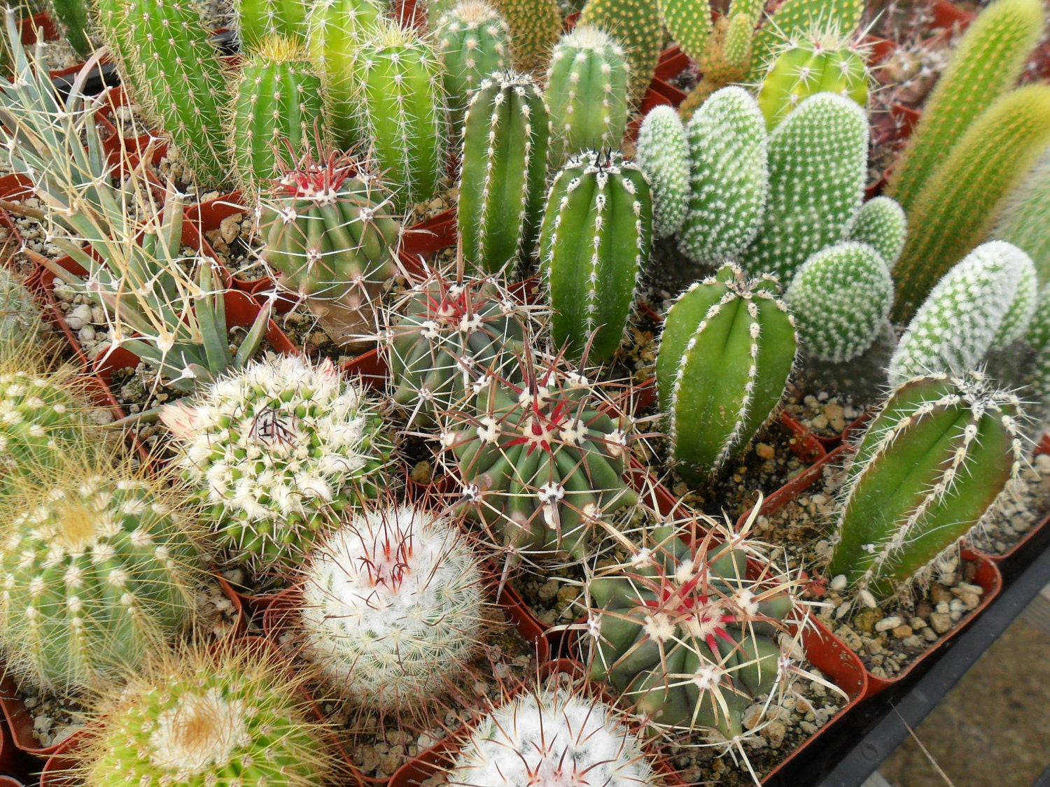 12 cactus awesome plants perfect for a by succulentsgalore for Different garden plants