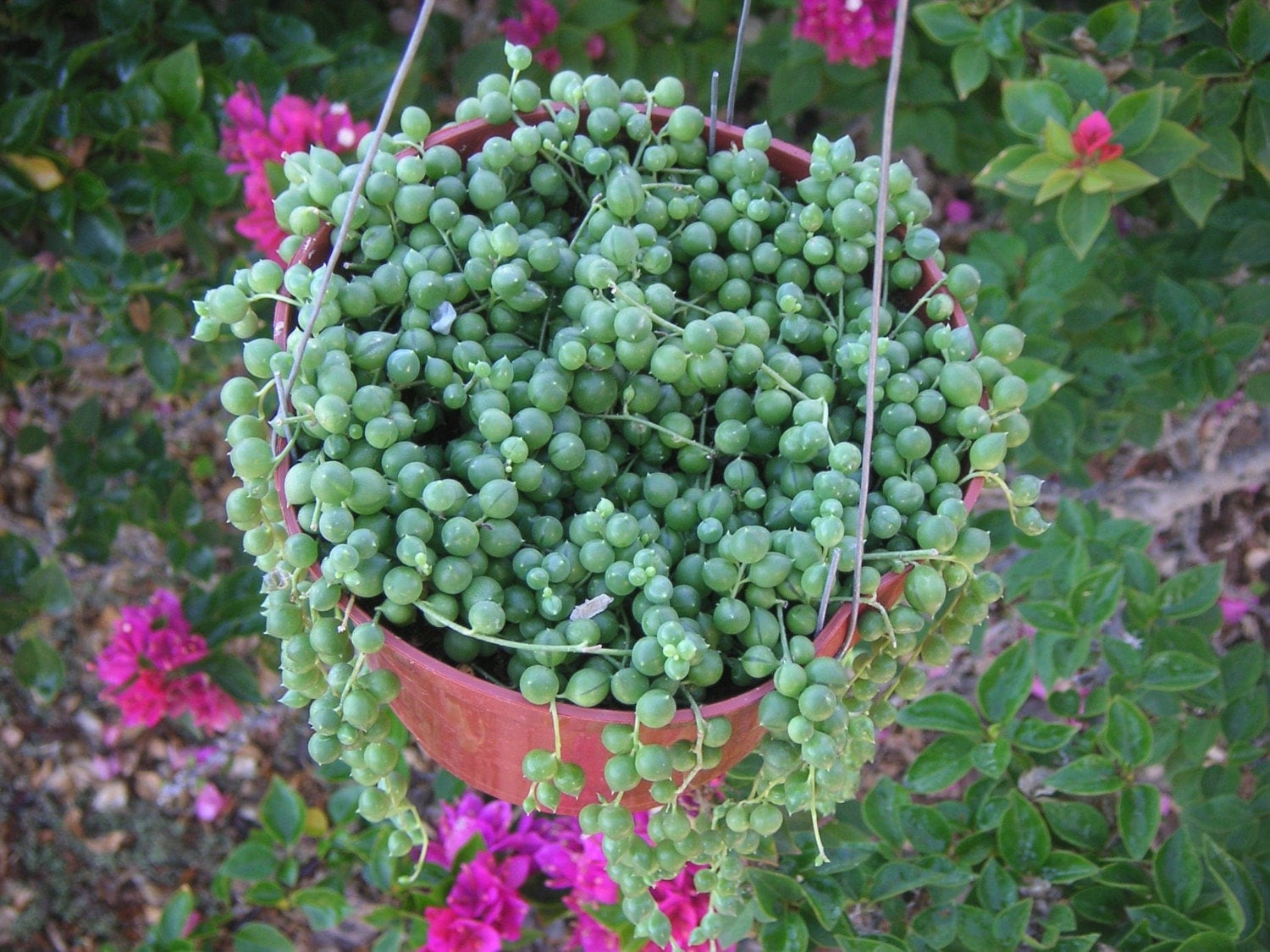 String Of Pearls Succulent Hanging Plant