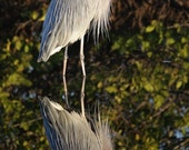Great Blue Heron Reflection 8 x 10 Unmatted Signed Fine Art Photography - Free Shipping to the U.S.