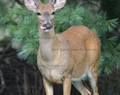 White-tailed Deer - 8X10 Unmatted Signed Fine Art Photography - Free Shipping to the U.S.