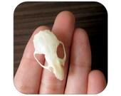 Specimen - Rat Skull - Qty 1 - Lot 1227