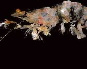 Jumbo Shrimp - Gyotaku Fish Rubbing - Limited Edition Print (14.75 x 6)