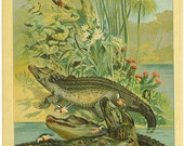 Color Book Plate From History of Animals 1901--Great Ilustration--Crocodiles