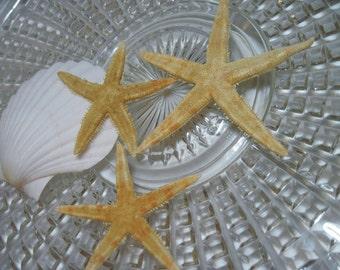 3 Starfish 170 - Oriental Flat Sea Stars