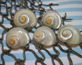 Seashells - White Pearlized Delphinula Turbos for Beach Weddings and jewelry making