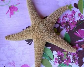 Orange Starfish - Large Sugar Starfish - Sea Star