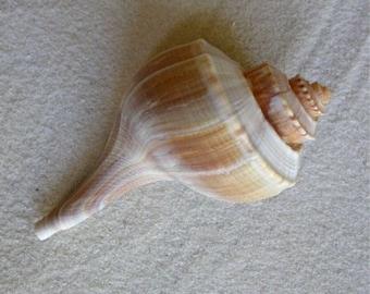 Whelk Seashell for Beach Decorating