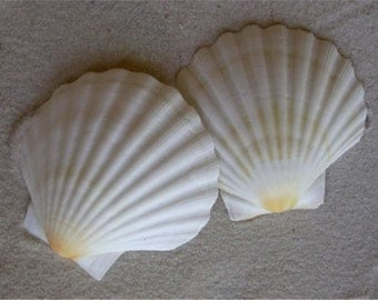 White English Scallop Shells