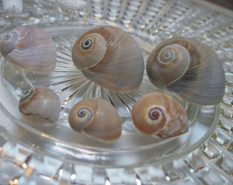 6 Natural Shells - Shark Eyes
