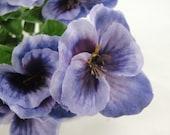 Purple pansy bushes set of 2