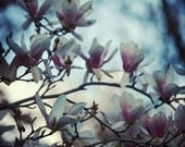 Magnolia Photography - Romantic Decor , Spring Blossoms - Spring and sunsets - beautiful cherry blossoms in the spring - 8x10 -