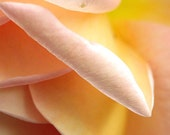 Flower Photography 'Abraham Darby' Rose Petals 5x7 peach, apricot, pink, yellow, abstract macro fine art floral photograph - MaryFosterCreative