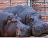 Just The Two Of Us Hippos 8x10 Photograph