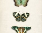 Antique Green Butterflies  Art Print Natural History Wall Decor  5x7
