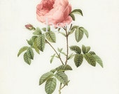 Redoute Roses Illustration  - Cabbage Rose Wall Decor Print 8x10 - HighStreetVintage