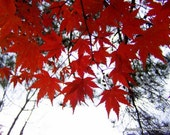 BOGO SALE 5x7 Shocking Maple Fine Art Photographic Print