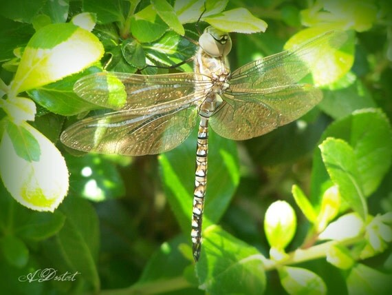 Photography Print Stained Glass Dragonfly