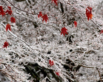 Winter Photography, Nature Art,  Red Leaves and Ice,  Ice Storm Print,  16X20 Mat, Fine Art Photography, Ready to Frame