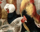 ANTIQUE PRINT 1860s hens, roosters, CHICKENS, handcolored engraving-a stylish barnyard gathering