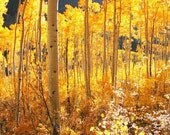 High Country Gold Aspen Forest Aspen trees Golden Leaves of Fall Mountains Autumn Aspen Colorado Lodge Rustic Photography