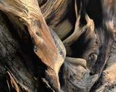 Windswept Roots Ancient Bristlecone Pine Root Rich Wood Tones Cabin Rustic Nature Photograph