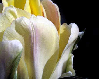 Tulip photo, pale yellow flower print, pastel spring flower art, botanical print, floral photo, spring flower decor, flower photography