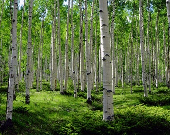 Aspen Trees Colorado Green Aspen Forest Summer Colorful Leaves Rustic Cabin Lodge Photograph