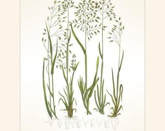 Antique Botanical Grass Print, Bulbous Meadow Grass , Anne Pratt, 1889 Vintage Image,  Frameable Art